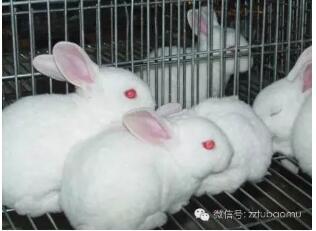仔兔幼兔的饲养管理,仔兔出生后,不要随便搬动
