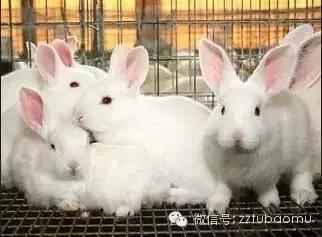 幼兔的饲养管理要点,指断奶后到3月龄这一阶段