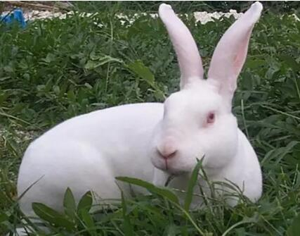 兔子是草食家畜,饲料以草为主