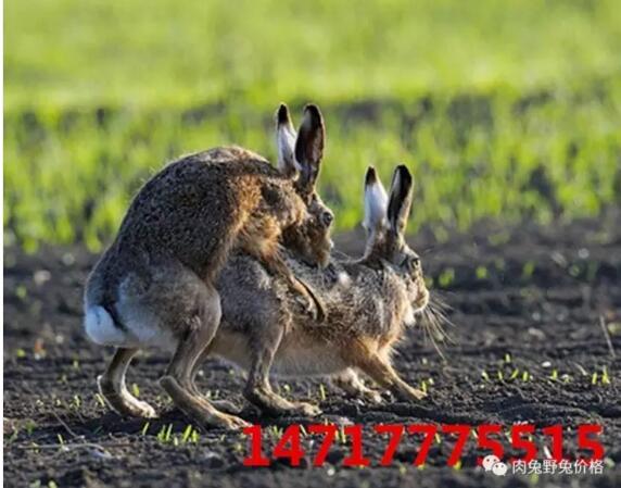 北方春季多风沙,是养兔最不利的季节之一