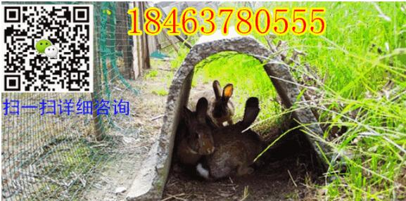 杂交野兔是用纯种野兔作父本,比利时兔或塞北肉兔作母本进行改良