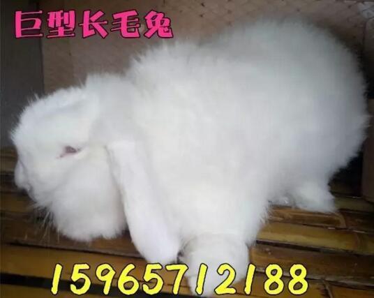 饲养野兔要有稳定饲料配方,每天定时定量饲喂