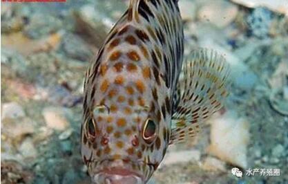 石斑鱼是暖水性鱼类,主要栖息在岩礁地带