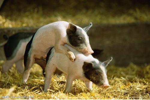 大白母猪和长白母猪在秋季配种取得的繁殖性能好