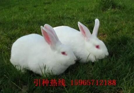 兔子压倒窝边草