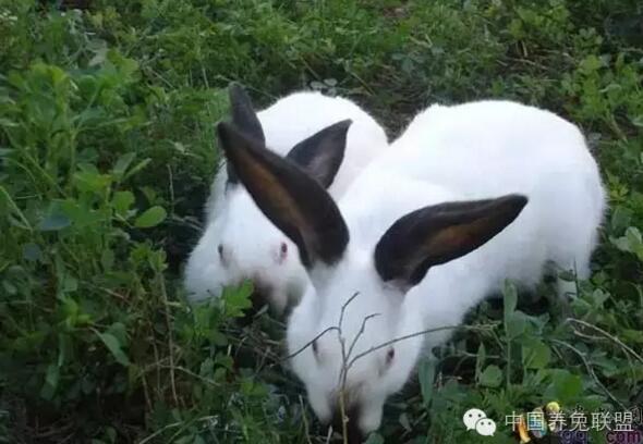 宠婚 萝卜兔子