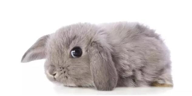 宠物兔常见由于垫料污染和尿淋漓继发皮炎