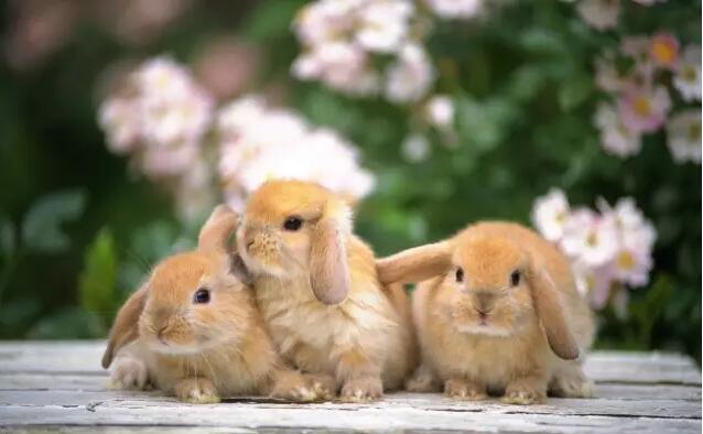 秋季气候适宜、饲料充足、营养丰富,是饲养家兔的好季节