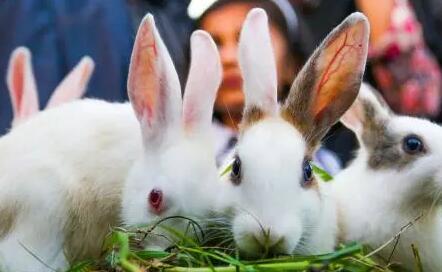 养兔的正确方法,以下三点可供参考