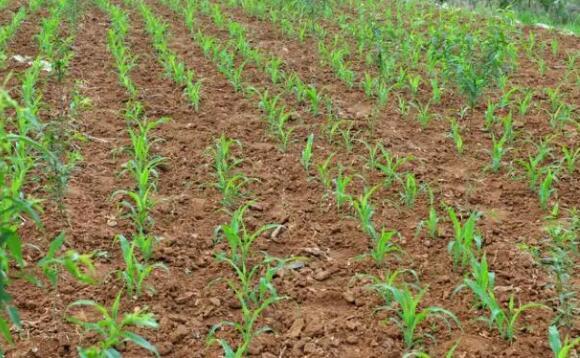 春播玉米应根据当地生态条件,因地制宜地选用生育期适宜