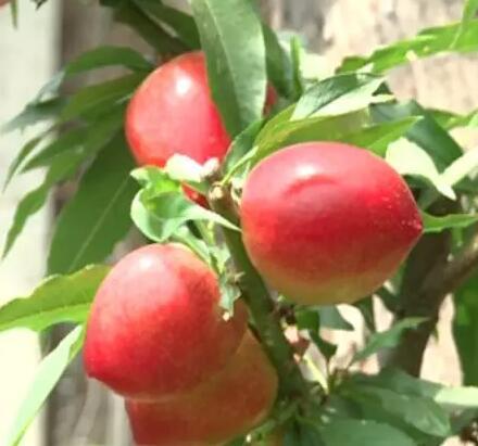 """聚焦三农,一个个惹人""""桃""""醉的油桃,构成了一幅幅美景"""