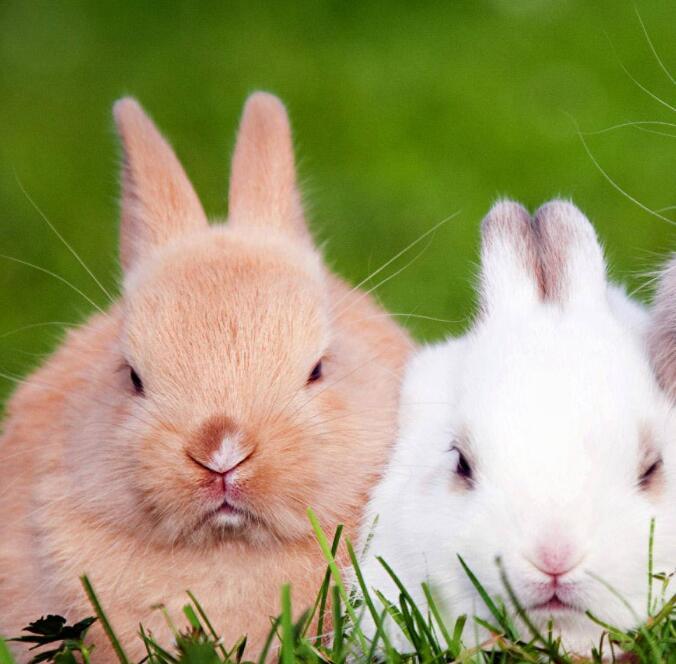 在山西发动农民养殖长毛兔,长毛兔饲料要注意多样化