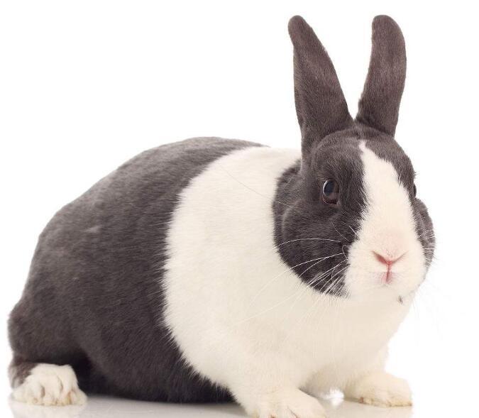 内仔兔不睁眼,刚出生的仔兔全身无毛,4天开始长出茸毛