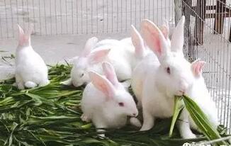 养兔一年半,一提心好酸。无成果,无效益,不见钱