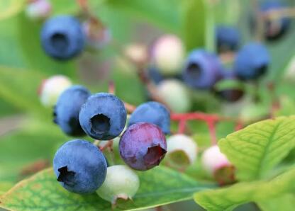 蓝莓原产于美洲,是越桔酸类植物这个大家族中的一种