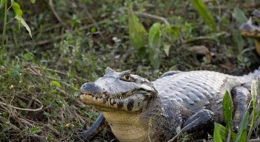 鳄鱼很少攻击人类;但一旦发生这种状况,就有可能夺命