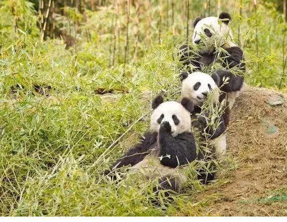 熊猫可爱,但是可爱不足以成为我们花大量财力物力去保护一个物种的理由